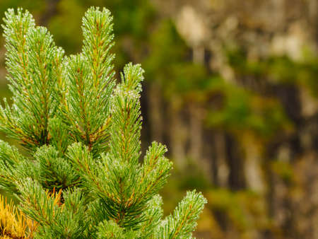 Coniferous pine tree branch, green young sprout with water drops and forest nature in background