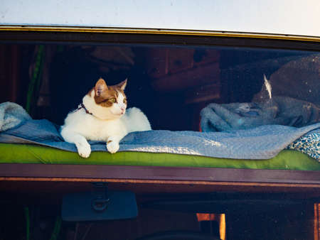 Cat laying on bed in rv integra camper car and looking around trought front window pane. Motorhome traveling with pet.