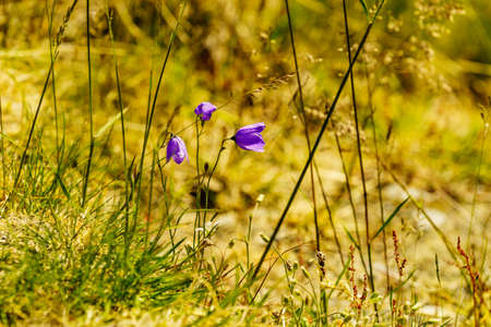 Violet flowers on nature. Spring or summer time in norwegian mountains area. 写真素材