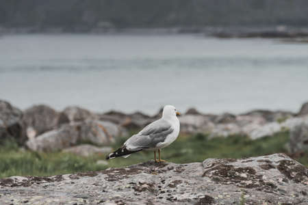 Stone sea shore with seagull bird, Lofoten islands in Norway. Overcast weather. Wild northern nature.