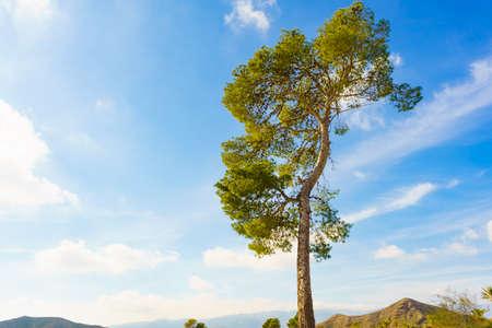 Single pine tree against blue sky.
