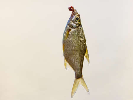 Crucian fish caught on bait by the lake, hanging on hook on fishing rod. 写真素材