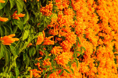 Orange flowers hanging over the garden fence wall in Spain. Pyrostegia venusta. Nature, blooming background. 写真素材