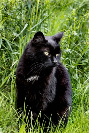 lovely black cat is resting in the grass