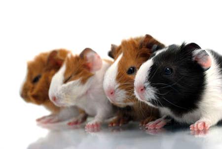 Newborn guinea pigs Stock Photo