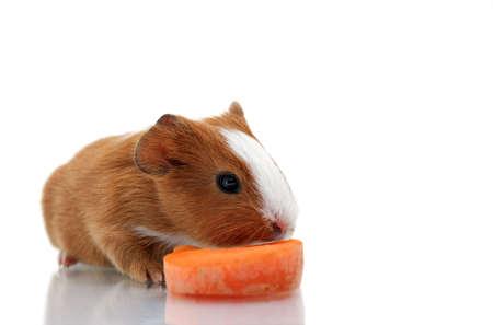 Newborn guinea pig with carrot photo