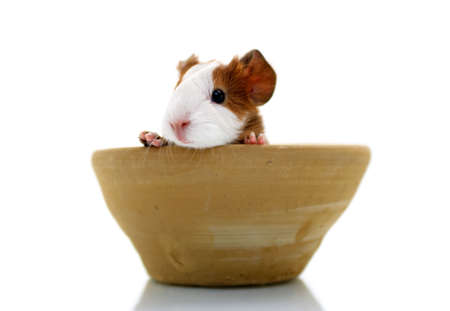 Newborn guinea pig in pottery Stock Photo