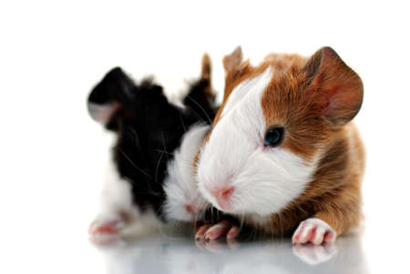 Young guinea pigs