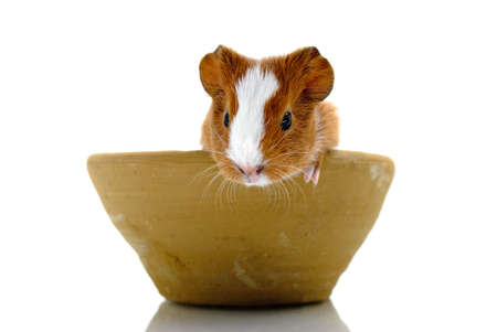 Young guinea pig in pottery
