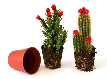 Potted cacti and an empty pot
