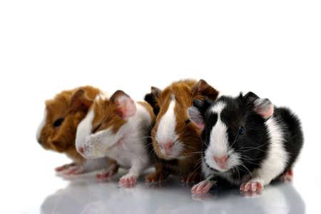 Baby-Meerschweinchen  Standard-Bild