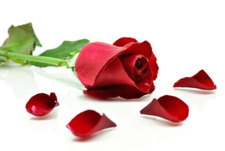 Red Rose mit Blütenblätter