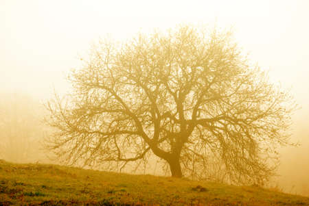 Big tree in the morning fog Stock Photo