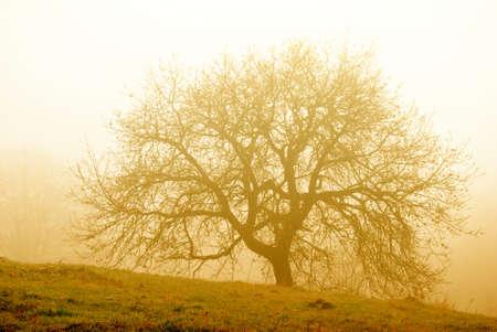 Großer Baum in den Morgennebel Standard-Bild