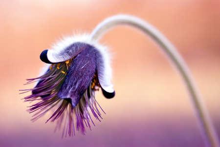 Frühlingsblumen - Pulsatilla Standard-Bild
