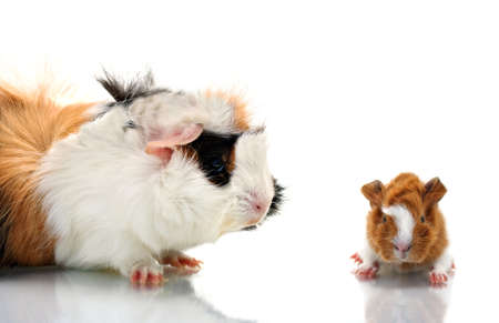 Mother guinea pig and her baby photo