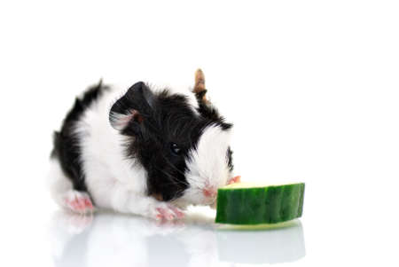 Baby guinea pig with cucumber photo