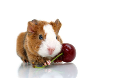 Newborn guinea pig with sour cherry photo
