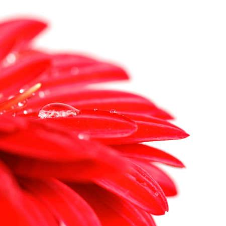 Red Gerber mit Tropfen auf weiß isoliert Standard-Bild