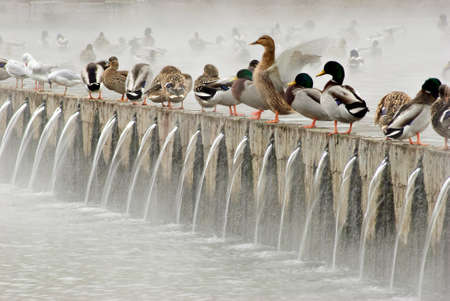 Wild ducks and gulls in the foggy photo