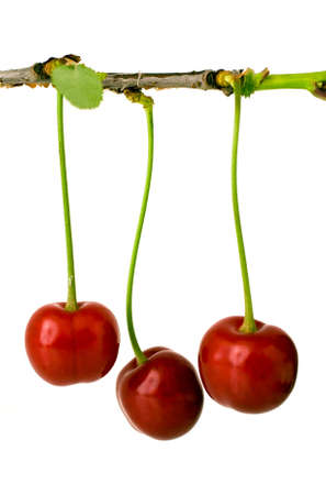 Sour cherries on branch photo