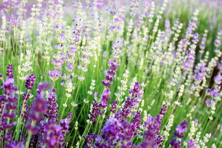 Schönes Detail eines Lavendelfeldes