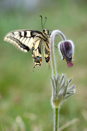 Swallowtail on a flower Stock Photo - 14470133