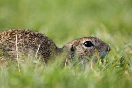 squeak: Gopher in the grass Stock Photo