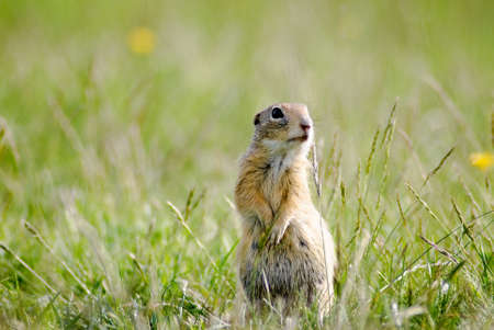 Gopher in the grass Stock Photo