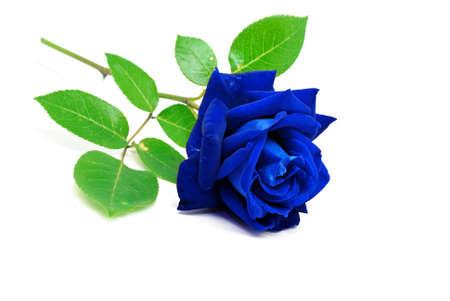 Blaue Rose auf weißem Hintergrund isoliert Standard-Bild