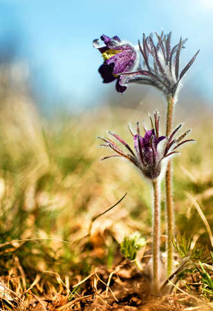 Black Pulsatilla flowers on the meadow photo