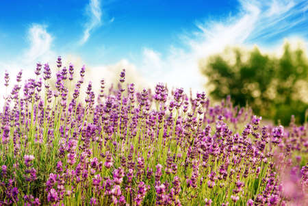 lavender bushes: Beautiful detail of a lavender field with blue sky