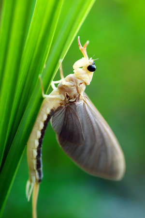 imago: Mayfly (in Hungary)