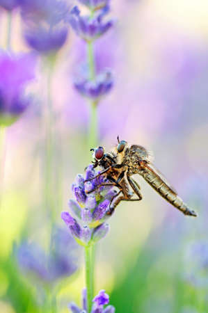 Robber fly with victim between the lavender flowers photo
