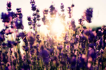 Beautiful detail of a lavender field photo