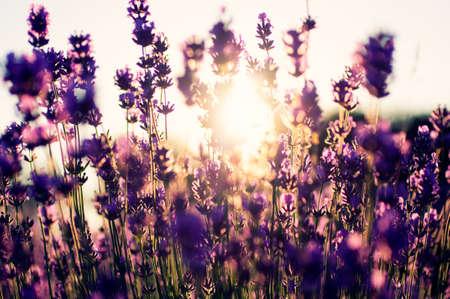 fiori di lavanda: Dettaglio bella di un campo di lavanda Archivio Fotografico