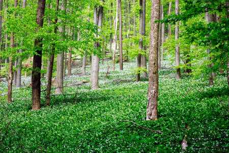 Forest with wild garlic flowers photo