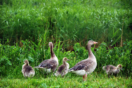 bird web footed: Goose family standing on the grass Stock Photo