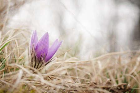 pulsatilla: Beautiful flower on the meadow Stock Photo