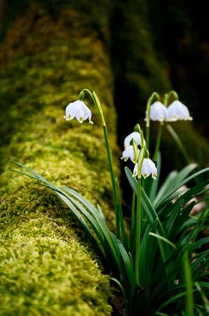 Spring snowflake flowers Standard-Bild