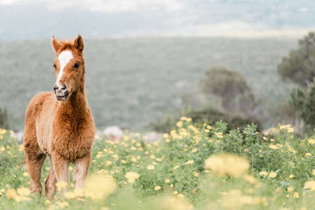 young foal standing in a blooming field of yellow wild flowers Banque d'images