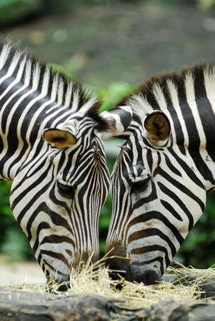 cebra: Un par de cebras pastando en la hierba y heno