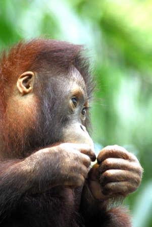 An Endangered Orang Utan in the Singapore Zoological gardens