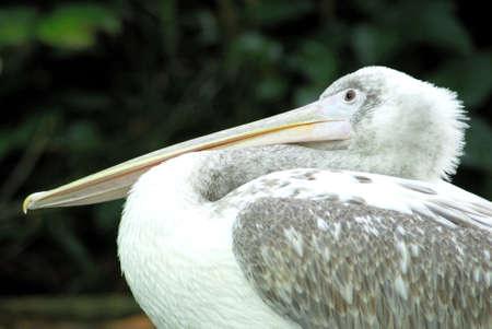 pelikan: Pelikan