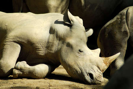 zoological: A Rhinoceros lying in the sun in the Singapore Zoological Gardens Stock Photo