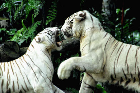 catfight: Two rare endangered white tigers locked in combat Stock Photo