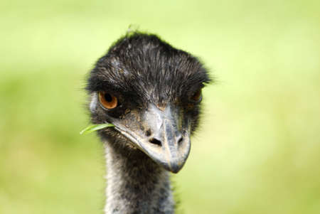 ratite: Emus are native to Australia.  They are the worlds second-largest living members of the ratite family of birds