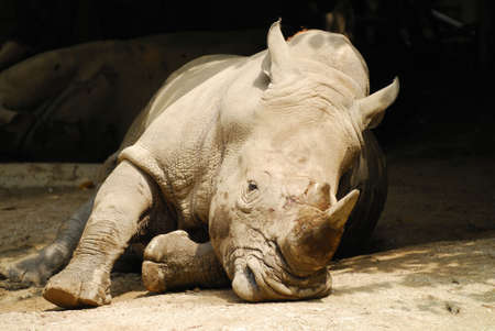 rampage: Rhinoceros lying in the sun in the Singapore Zoological Gardens