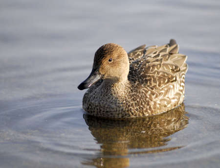 waddling: Brown Duck waddling on a lake