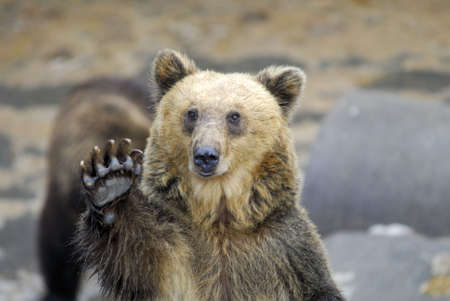 oso pardo: Oso pardo